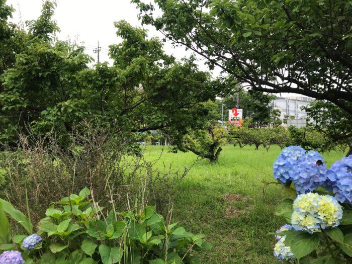 横山農園梅林