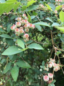 横山農園ブルーベリー